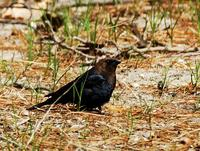 Image of: Molothrus ater (brown-headed cowbird)