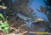Varanus salvator - Common Water Monitor