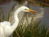 Intermediate Egret - Egretta intermedia
