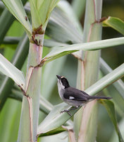 White-winged Brush-Finch (Atlapetes leucopterus) photo