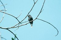 Blackish Pewee - Contopus nigrescens