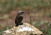 Gray-headed Social-Weaver - Pseudonigrita arnaudi