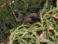 Dark-throated Seedeater - Sporophila ruficollis