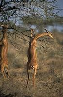 ...Gerenuk standing on its hind legs to browse , Litocranius walleri , Samburu National Reserve , K
