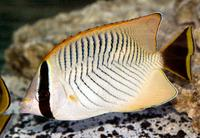 Picture of a Chevron Butterflyfish, Chaetodon trifascialis