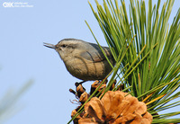 쇠동고비 [Chinese nuthatch]
