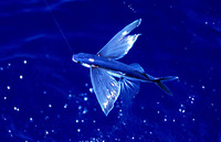 Exocoetus volitans, Tropical two-wing flyingfish: fisheries