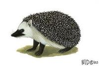 Image of: Paraechinus micropus (Indian hedgehog)