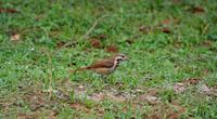 Image of: Cichladusa guttata (spotted morning-thrush)