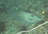 Image of: Aluterus scriptus (scrawled filefish)