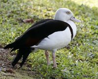 White-headed Shelduck - Tadorna radjah