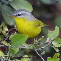Grey-hooded Warbler - Seicercus xanthoschistos