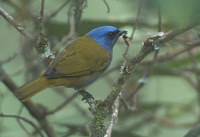 Blue-capped Tanager (Thraupis cyanocephala) photo