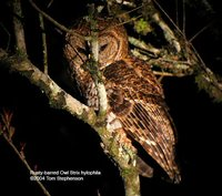 Rusty-barred Owl - Strix hylophila