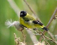 * Black Hooded Siskin