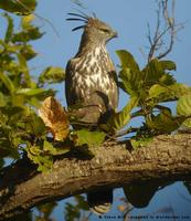 Changeable Hawk-Eagle, Spizaetus cirrhatus