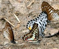Pendlebury's Zebra, Common Jay and Malayan Zebra