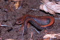 : Plethodon cinereus; Eastern Red-backed Salamander