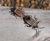 : Largus succinctus; Bordered Plant Bug