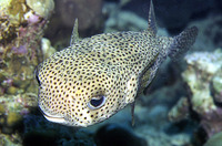 Diodon hystrix, Spot-fin porcupinefish: fisheries, aquarium