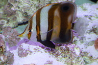Chelmon muelleri, Blackfin coralfish: aquarium