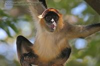 Ateles geoffroyi - Central American Spider Monkey