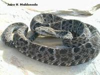 Image of: Bothrops colombiensis