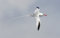 Red-billed Tropicbird (Phaethon aethereus) photo