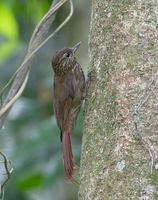 Wedge-billed Woodcreeper (Glyphorhynchus spirurus) photo