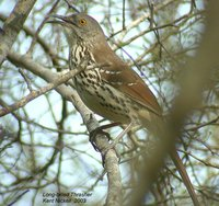 Long-billed Thrasher - Toxostoma longirostre