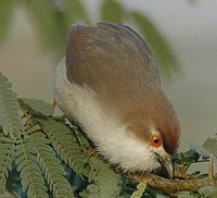 Yellow-eyed Babbler - Chrysomma sinense