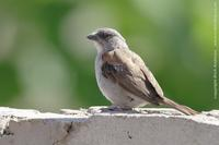 Grey-headed Sparrow, Passer griseus