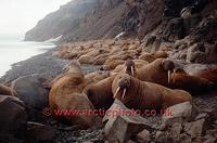 FT0189-00: Walrus Haul out on the North siberian coast/ Wrangell Is