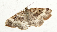 Epirrhoe alternata - Common Carpet