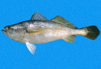 Cynoscion praedatorius, Boccone weakfish: fisheries