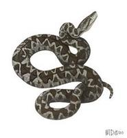 Image of: Epicrates angulifer (Cuban boa)