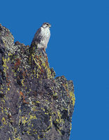 Prairie Falcon (Falco mexicanus) photo