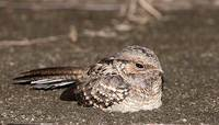 White-tailed Nightjar (Caprimulgus cayennensis) photo