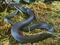 : Coluber constrictor foxi; Blue Racer