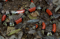 : Simophis rhinostoma; False Coral Snake