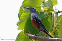 Blue Rock-Thrush (Male) Scientific name - Monticola solitarius