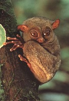 photograph of young tarsier