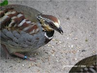 Collared Hill-Partridge Arborophila gingica