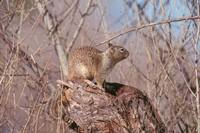 Spermophilus beecheyi - California Ground Squirrel