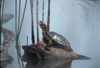 Image of: Clemmys marmorata (Pacific pond turtle)