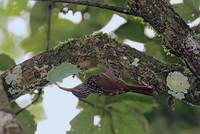 Black-striped Woodcreeper (Xiphorhynchus lachrymosus) photo