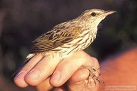 Striped Pipit - Anthus lineiventris
