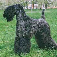 Kerry Blue Terrier (Irish Blue Terrier)
