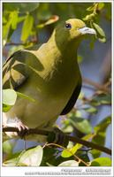 White-Bellied Green Pigeon 紅翅綠鳩 IMG 2949.jpg