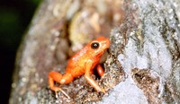 : Oophaga pumilio; Strawberry Poison Frog